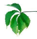 Green leaf (Virginia creeper leaf)