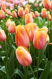Tulips in Flower Garden Netherlands