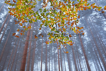 branch with orange leaves in misty forest