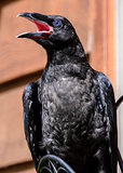 Baby Raven Speaks