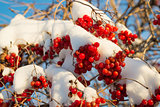 Viburnum berries in snow on  sunny day
