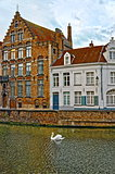 Swan on canals of Bruges, Belgium