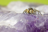 The Zebra spider