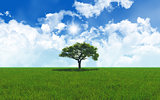 Oak tree in grassy landscape 2701