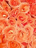 orange roses background