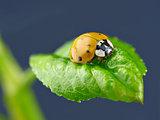 Ladybug on wet green leaf.