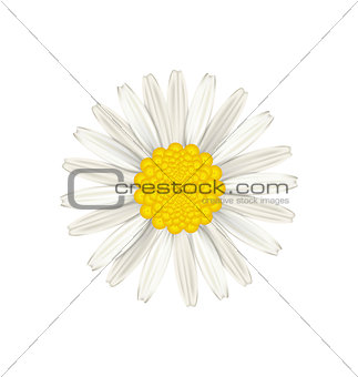 Camomile flower isolated on white background