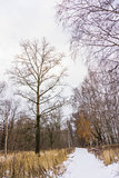 Birch Trees in a Snowy Park