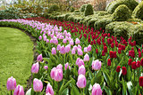 waves of red and pink tulips Keukenhof gardens natural park
