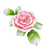 Pink watercolor rose