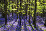 Beautiful morning in Spring bluebell forest with sun beams throu