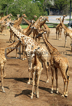 beautiful giraffes in the park