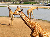 beautiful giraffe in the park