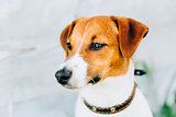 White And Brown Dog Jack Russell Terrier. Toned Instant Photo