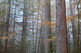 larch misty forest in autumn