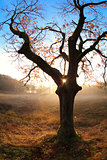 gold sunrise behind oak tree