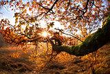 sunrise beams through oak branhces