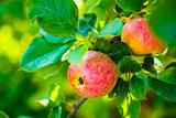 Fresh Red Apples On Apple Tree Branch