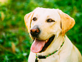 White Labrador Retriever Dog On Green Grass Background