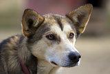 Head of Alaskan husky with ears pricked up looking sideways