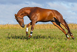 Red horse galloping