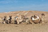 Camels in Judean desert, Israel