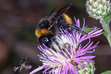 Bombus bee on a flower