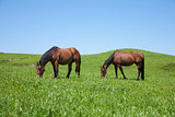 two horses grazing