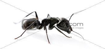 Carpenter ant, Camponotus vagus