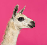 Close-up of a Llama in front of a pink background