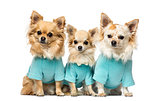 Three chihuahuas dressed