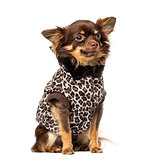 Chihuahua (1 year old) wearing a coat