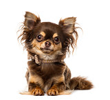 Chihuahua wearing a bow tie collar