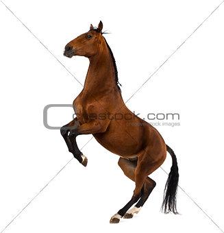 Andalusian horse rearing