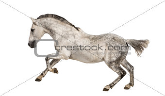 Andalusian horse galloping