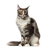 Maine Coon (2 years old)