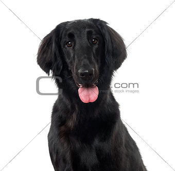 Flat-Coated Retriever (3 years old)