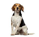 Beagle (3 years old)