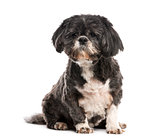 Shih Tzu (10 years old)