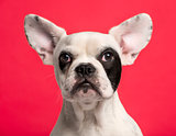 Close-up of a French Bulldog puppy (6 months old)