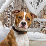 American Staffordshire terrier in front of a Christmas scenery