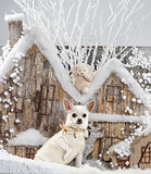 Chihuahua in front of a Christmas scenery