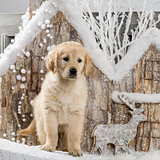 Golden Retriever in front of a Christmas scenery