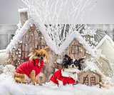 Chihuahuas in front of a Christmas scenery