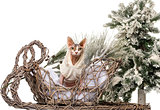 Sphynx in front of a Christmas scenery