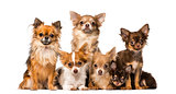 Group of chihuahuas