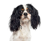 Close-up of a Cavalier King Charles Spaniel (1 year old)
