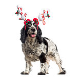 English Cocker Spaniel (12 years old) wearing a reindeer headban