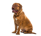 Dogue de bordeaux drooling (6 months old)