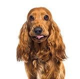Close-up of an English Cocker Spaniel (1 year old)